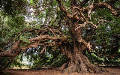 Kyperská legenda o olivovém stromě